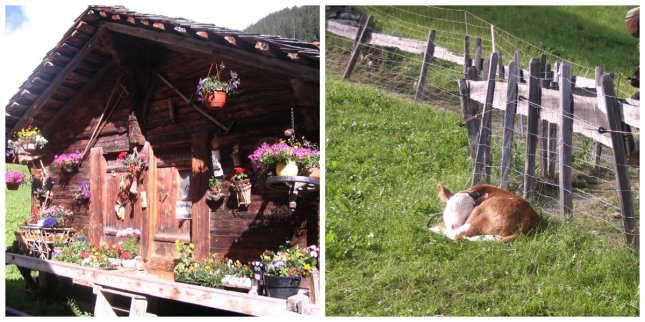 Gimmelwald might not have a grocery store, but it does have it's own cheese shack and the cutest baby cows