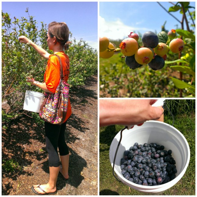 blueberry farm 2