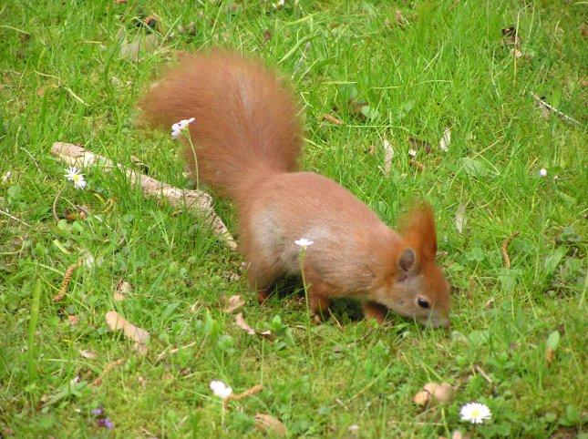 German squirrel